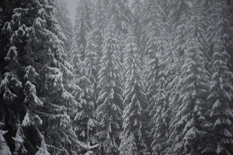 Árbol de pino imperecedero de la Navidad cubierto con nieve fresca imagen de archivo libre de regalías