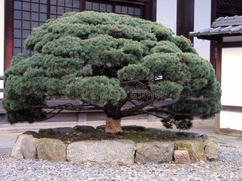 Árbol de pino japonés fotos de archivo libres de regalías