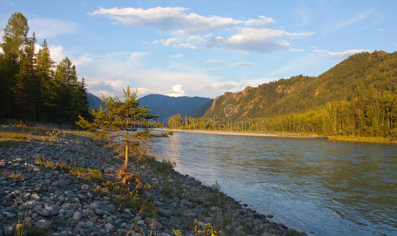 Árbol de pino joven en el banco del río fotografía de archivo