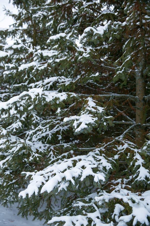 Árbol de pino de las cubiertas de nieve después de la tormenta del invierno fotografía de archivo libre de regalías