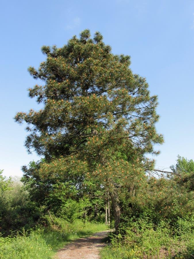 Árbol de pino majestuoso con los conos del pino en el bosque en primavera Toscana, Italia foto de archivo libre de regalías