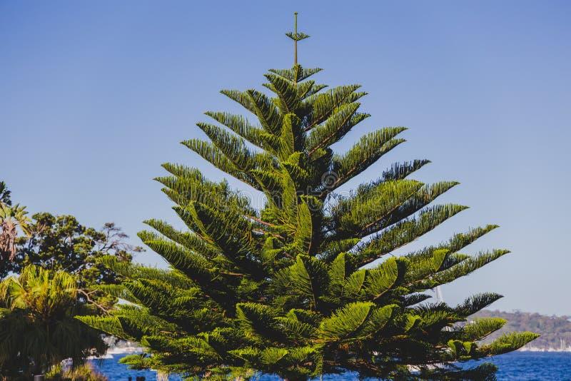 Árbol de pino marítimo en parque de la ciudad fotografía de archivo libre de regalías