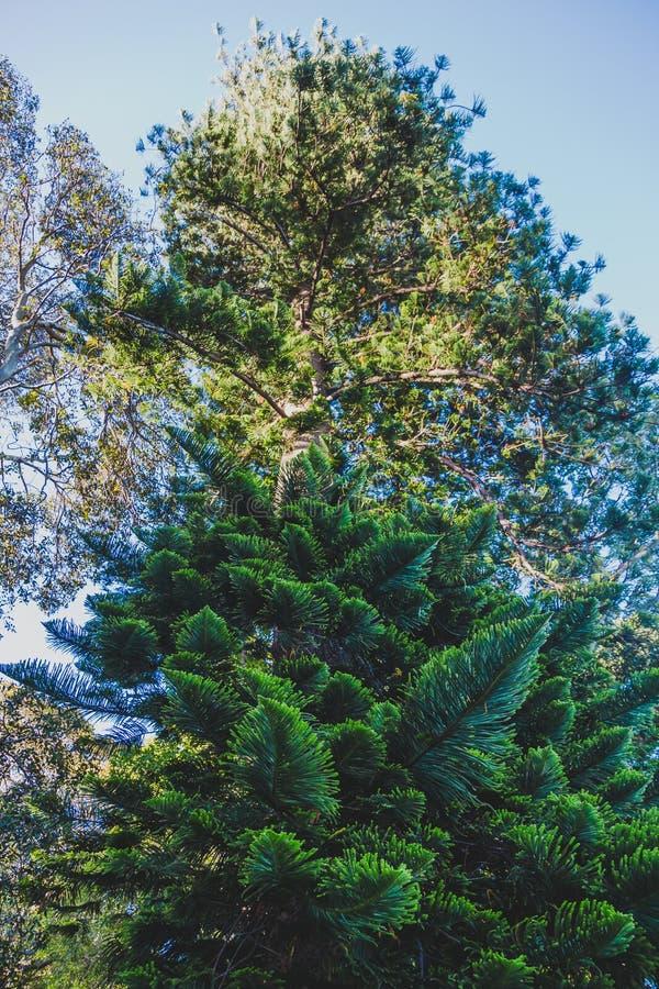Árbol de pino marítimo en parque de la ciudad foto de archivo libre de regalías