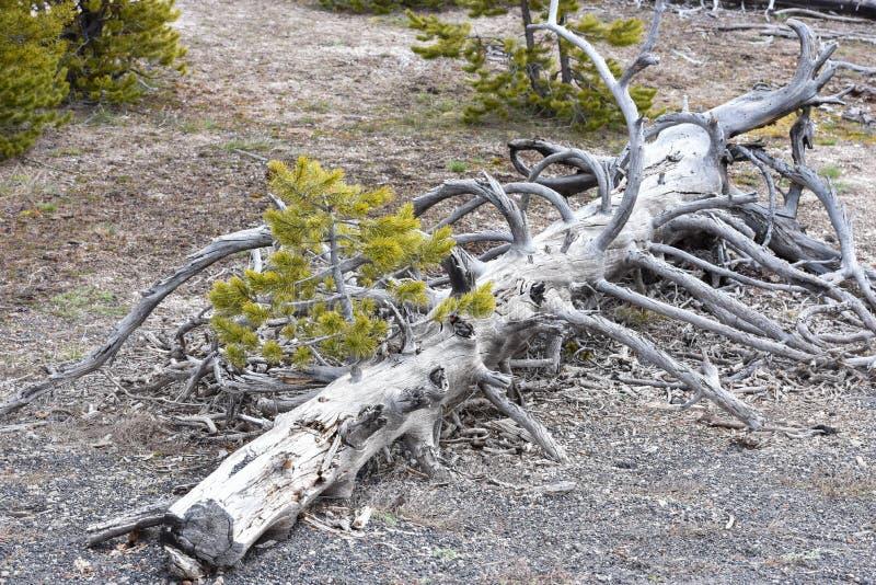 Árbol de pino muerto foto de archivo libre de regalías