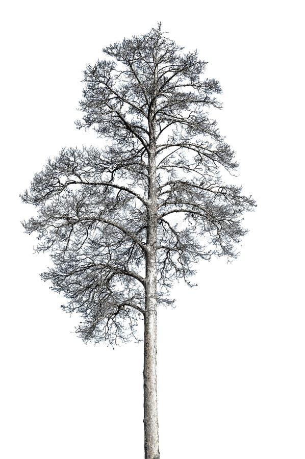 ?rbol de pino muerto aislado con el fondo blanco fotografía de archivo libre de regalías