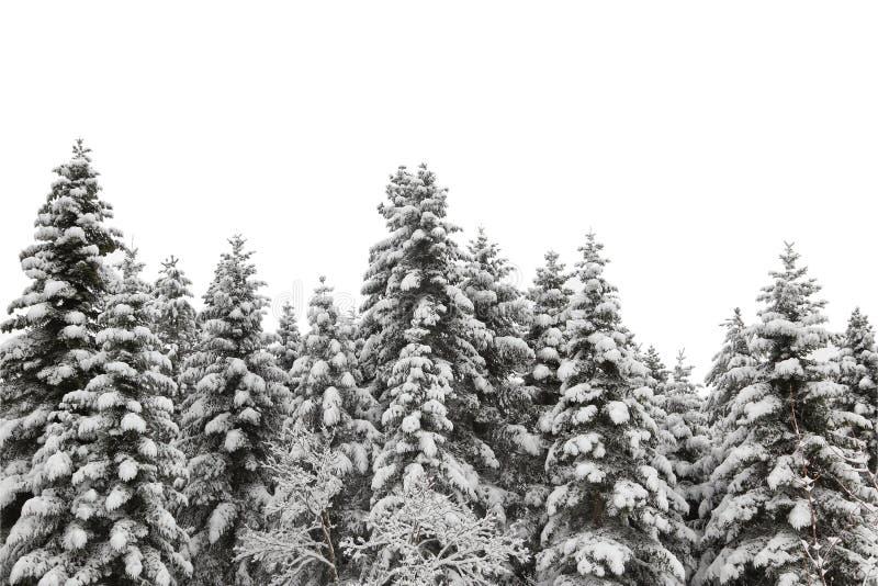 Árbol de pino nevado imagen de archivo libre de regalías