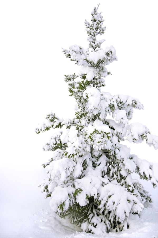 árbol de pino nevado aislado fotografía de archivo