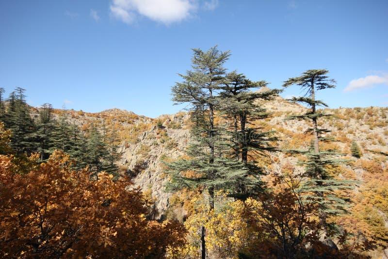 Árbol de pino ponderosa imagen de archivo