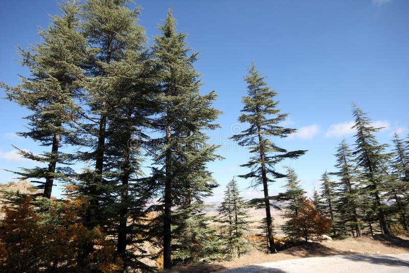 Árbol de pino ponderosa fotografía de archivo
