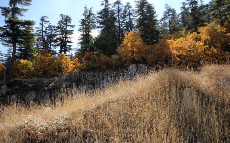 Árbol de pino ponderosa imagenes de archivo