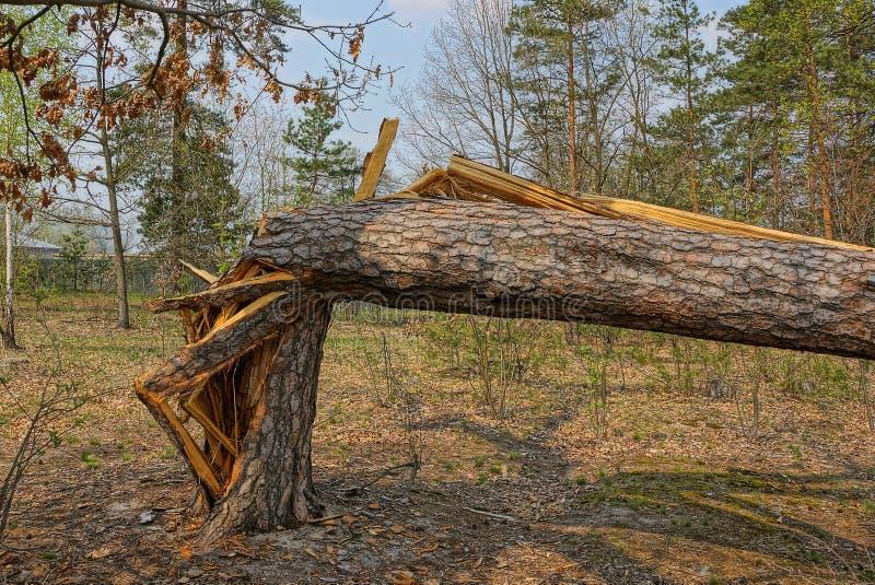 Árbol de pino quebrado grande en el bosque fotografía de archivo