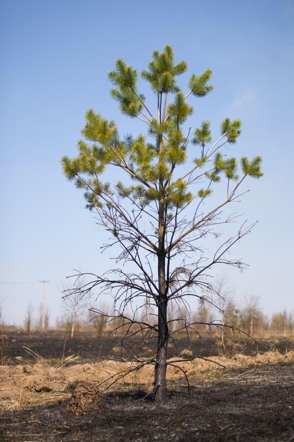 Árbol de pino quemado foto de archivo libre de regalías