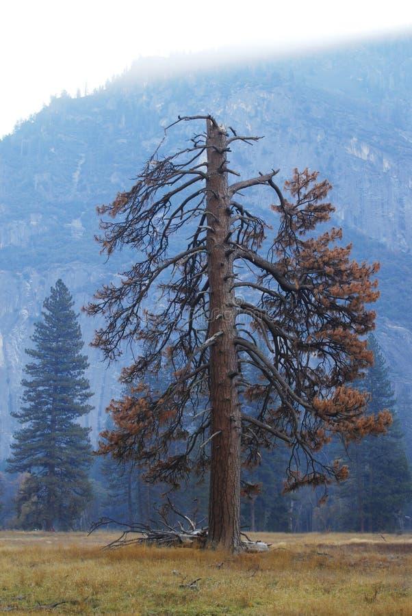 Árbol de pino solo en Yosemite fotos de archivo