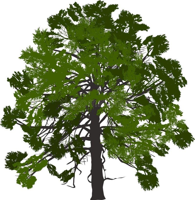 Árbol de pino verde con la corona grande en blanco stock de ilustración