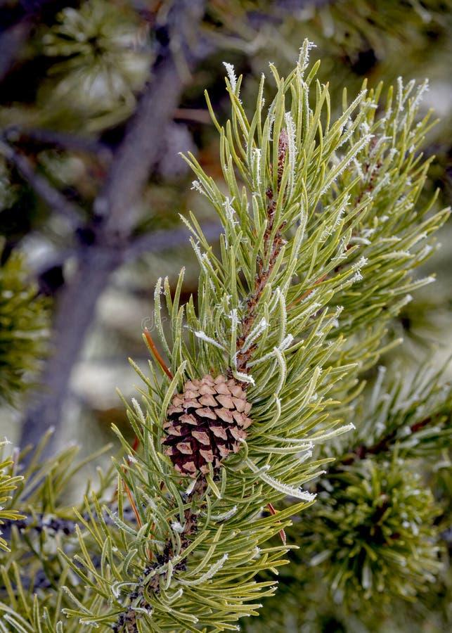 Árbol de pino verde con las agujas heladas imagenes de archivo