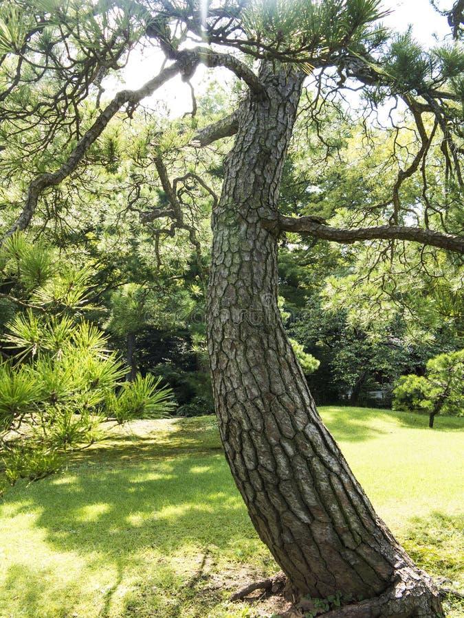 Árbol de pino viejo imagenes de archivo