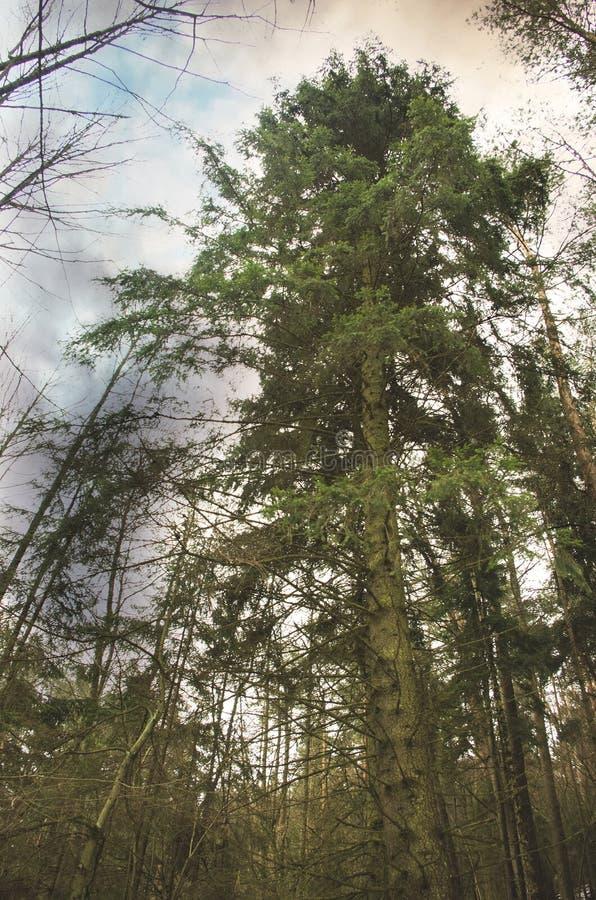 árbol de pino viejo imágenes de archivo libres de regalías