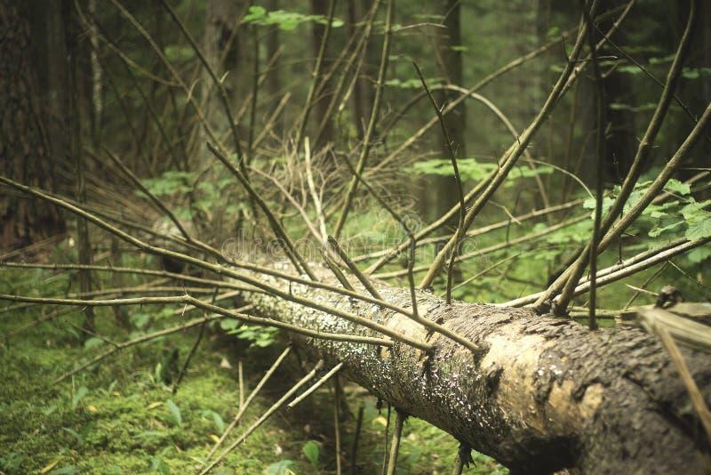 Árbol de pino viejo muerto imagenes de archivo