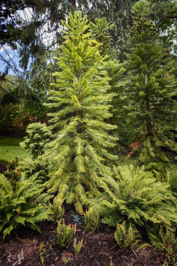 Árbol de pino de Wollemia fotografía de archivo libre de regalías