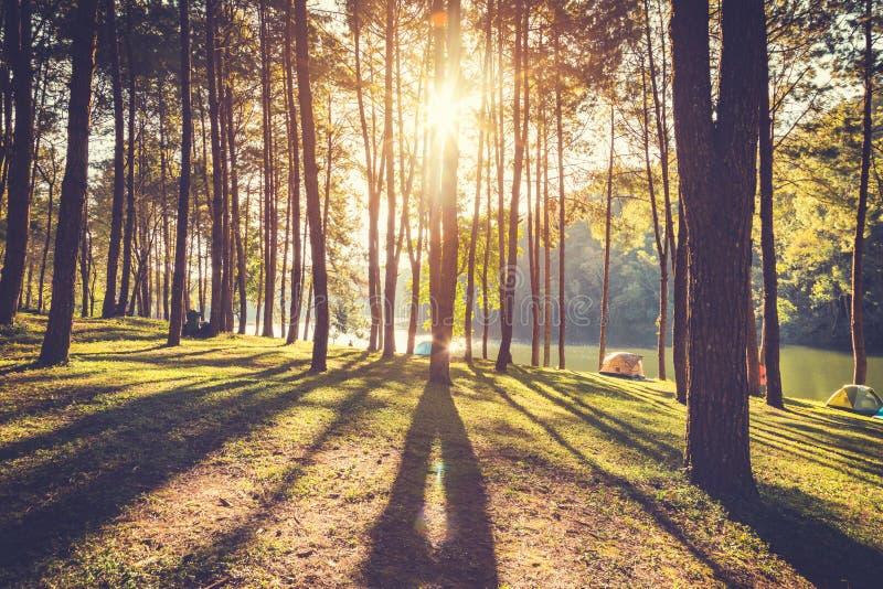 Árbol de pino y mañana de la luz del sol en bosque imagenes de archivo