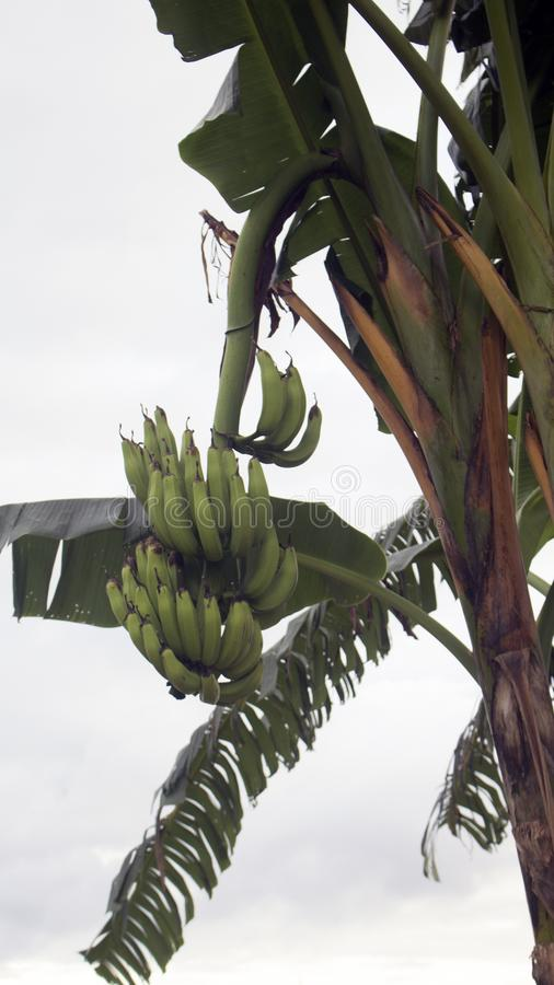 árbol de plátano con el plátano fotos de archivo libres de regalías