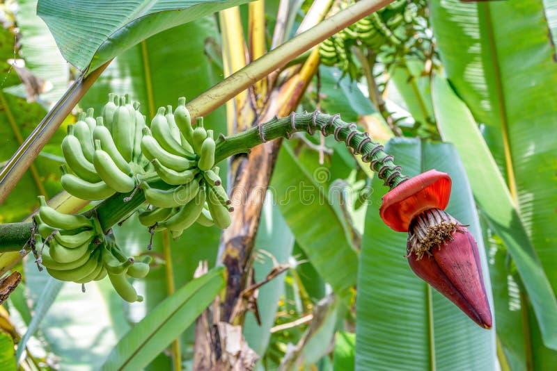 Árbol de plátano con el flor del plátano fotografía de archivo