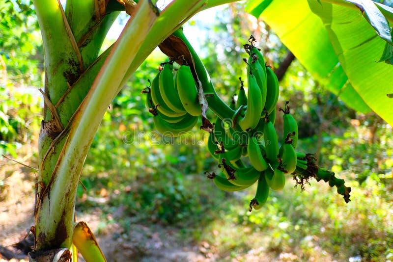 Árbol de plátano con el manojo de crecer verde crudo imagen de archivo libre de regalías