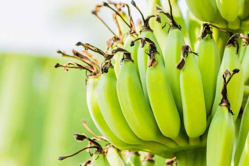 Árbol de plátano con el manojo de plátanos verdes crudos imagen de archivo libre de regalías