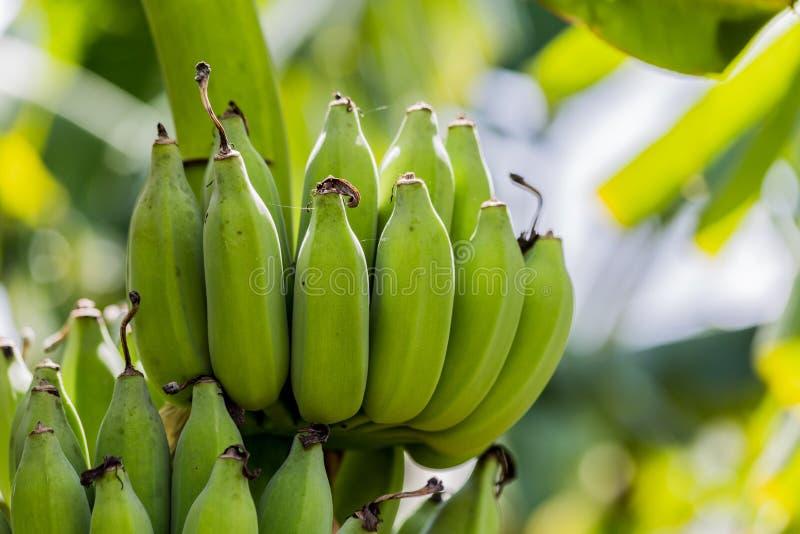 Árbol de plátano con el manojo de plátanos verdes crudos y de pasto verde del plátano foto de archivo