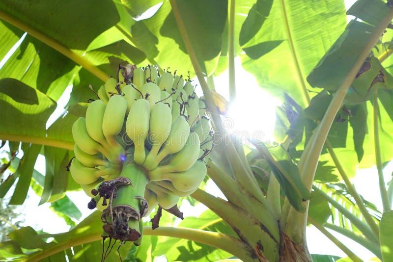 Árbol de plátano con los plátanos verdes foto de archivo