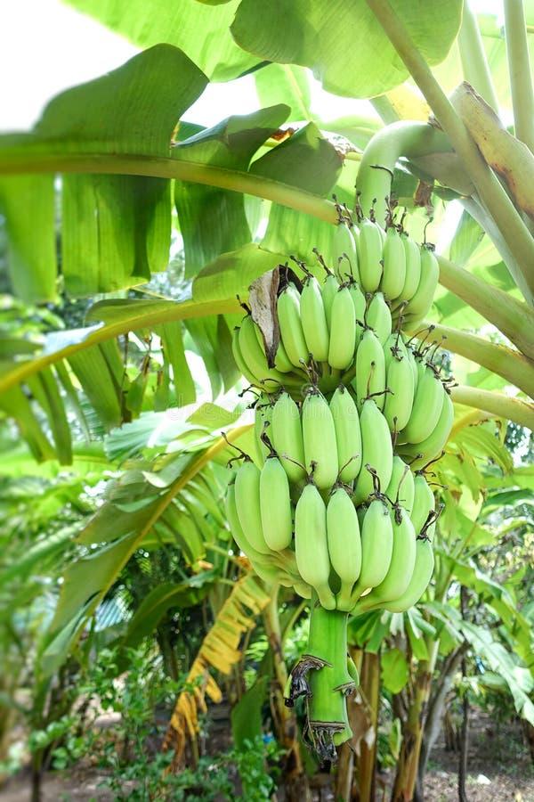 Árbol de plátano con los plátanos verdes imagenes de archivo