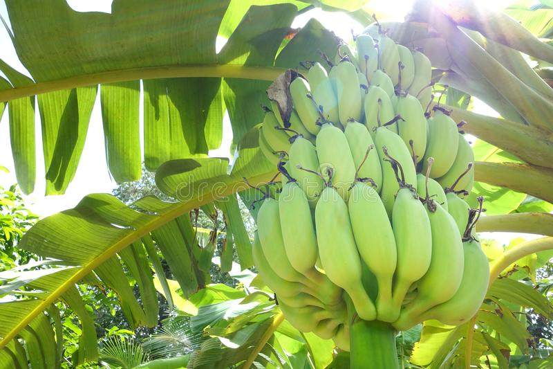 Árbol de plátano con los plátanos verdes imágenes de archivo libres de regalías