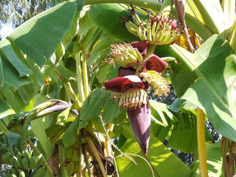 Árbol de plátano con los plátanos verdes fotografía de archivo libre de regalías
