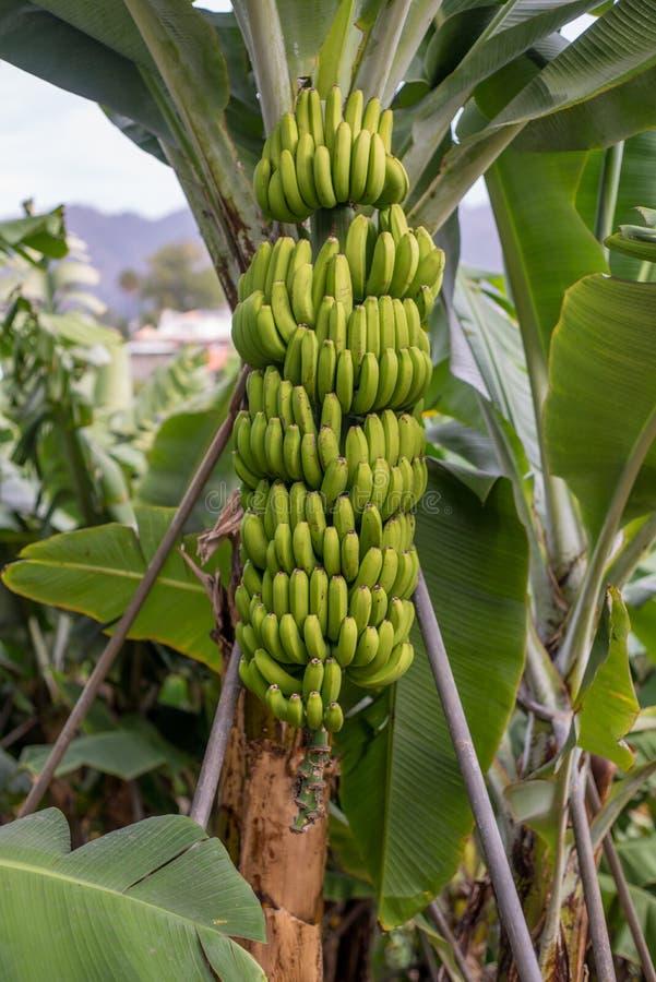Árbol de plátano con un manojo de plátanos fotos de archivo libres de regalías