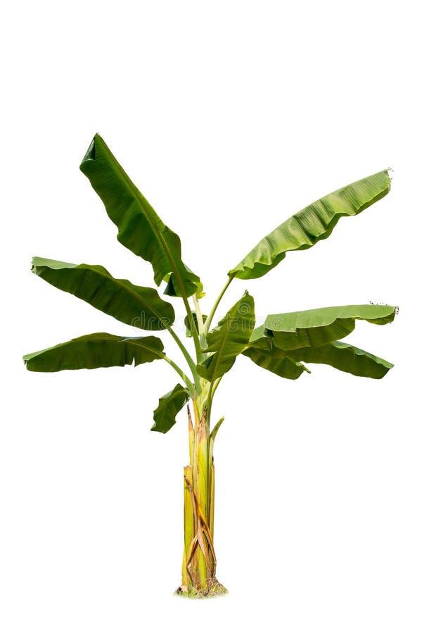 Árbol de plátano grande aislado en el fondo blanco fotografía de archivo