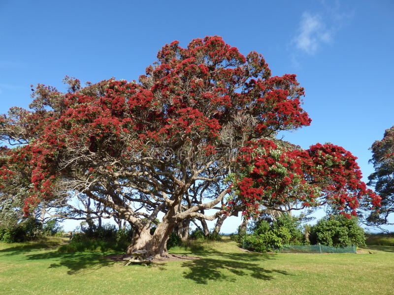 Árbol de Pohutukawawa imagen de archivo