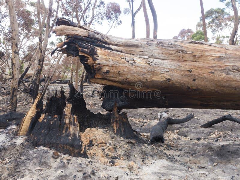 Árbol de propiedad dañado por el fuego de los arbustos imagen de archivo libre de regalías