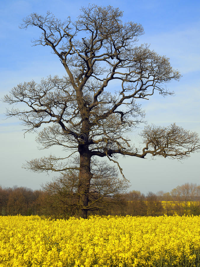 Árbol de roble en el resorte temprano - Inglaterra foto de archivo libre de regalías