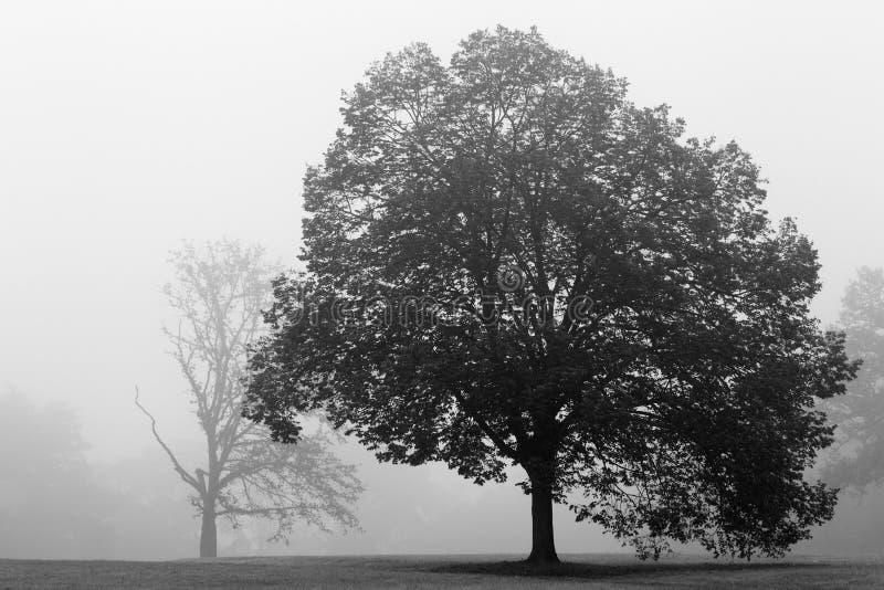 Árbol de roble en niebla imagen de archivo