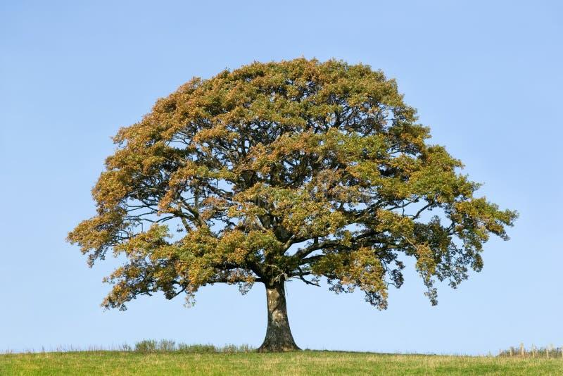 Árbol de roble en otoño temprano imagenes de archivo
