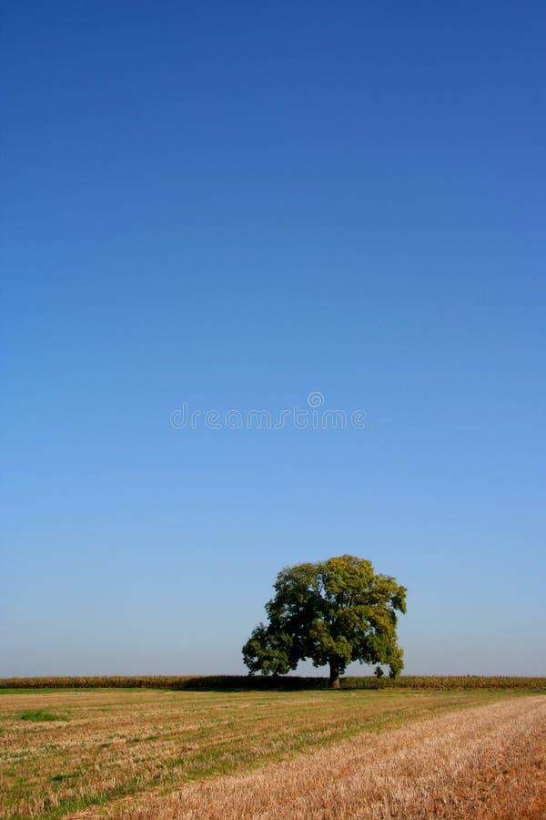 Árbol de roble en verano fotos de archivo