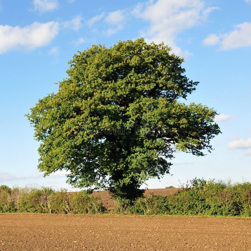 Árbol de roble inglés foto de archivo libre de regalías