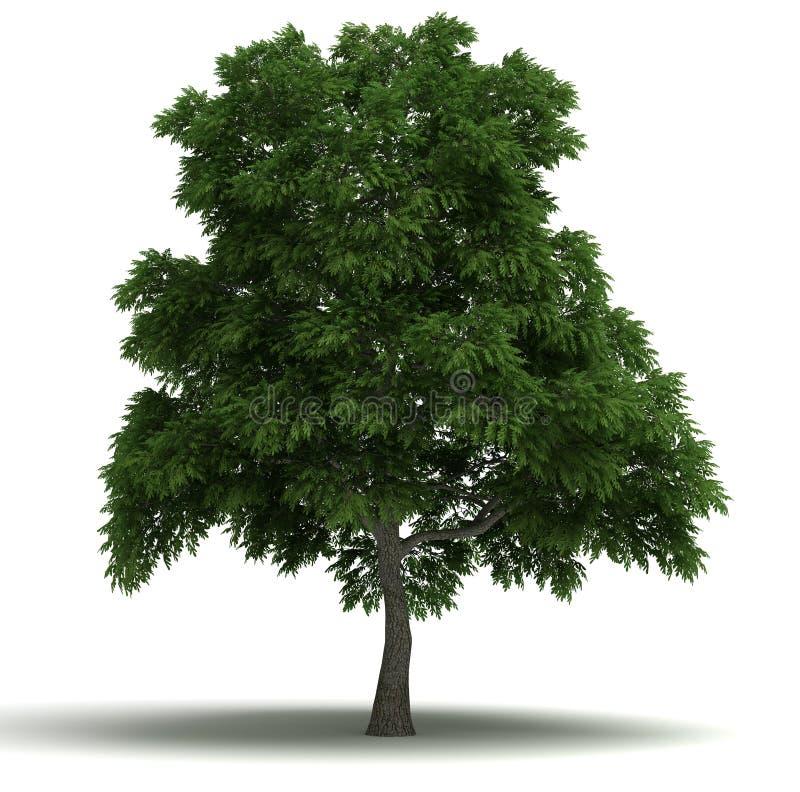 Árbol de sasafrás libre illustration