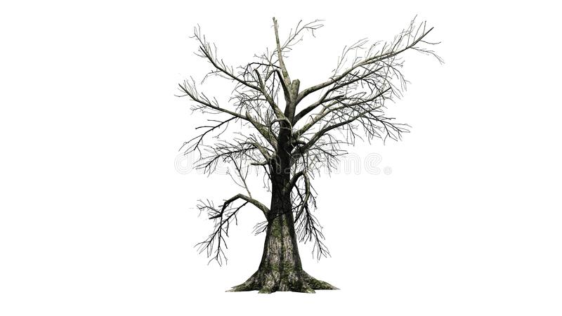 Árbol de sasafrás en el invierno en el fondo blanco stock de ilustración
