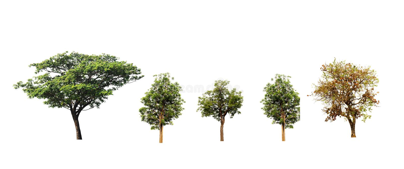 Árbol de seda o árbol de nuez del indio y árboles de Neem y teca o árbol híbrida de Kino aislado en el fondo blanco imagen de archivo libre de regalías