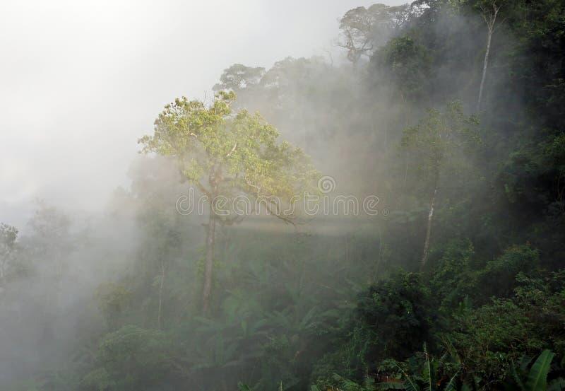 Árbol de selva tropical único en niebla con patrones de rayos solares foto de archivo libre de regalías
