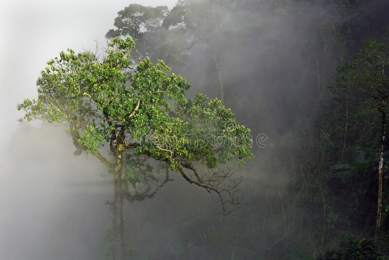 Árbol de selva tropical único en niebla con patrones de rayos solares fotos de archivo libres de regalías