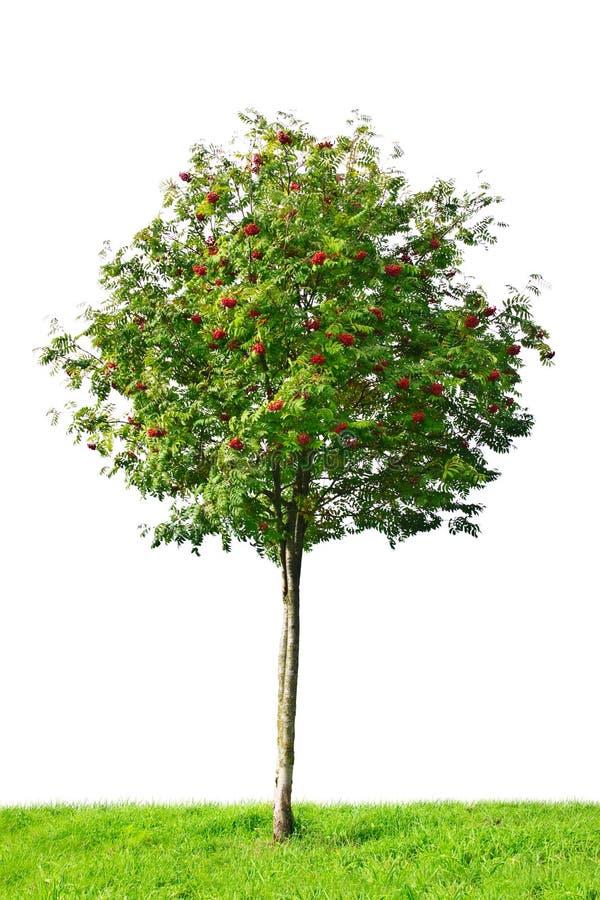 Árbol de serbal foto de archivo libre de regalías
