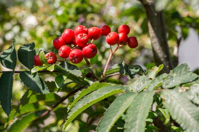 Árbol de serbal con las bayas rojas Primer del aucuparia del Sorbus fotos de archivo libres de regalías