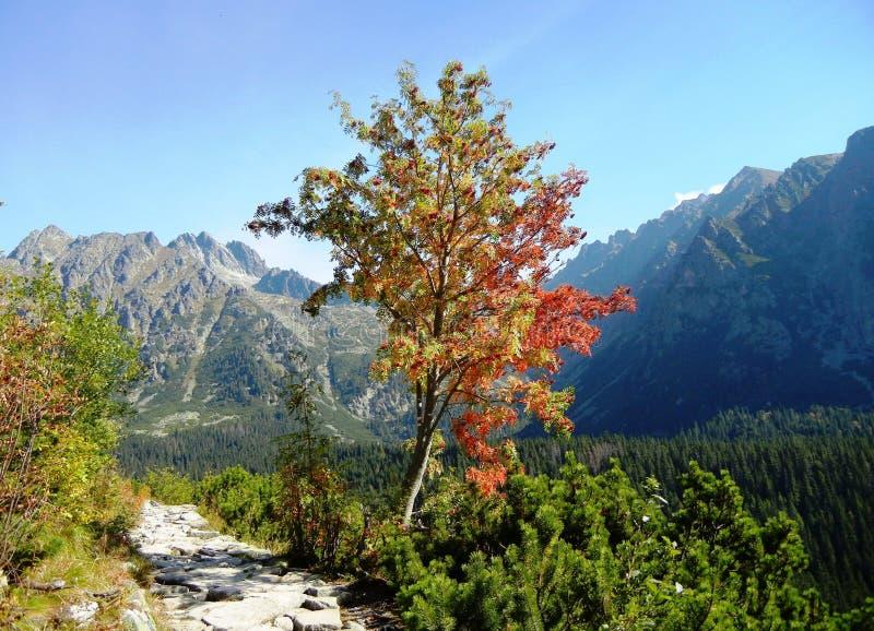 Árbol de serbal en las montañas imágenes de archivo libres de regalías
